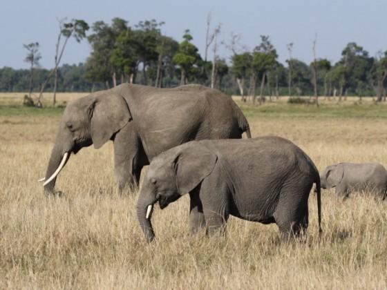 Masai Mara - Elefanten