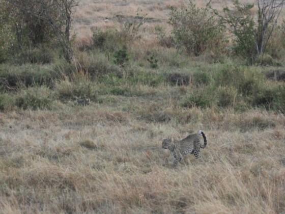 Masai Mara - Leopard