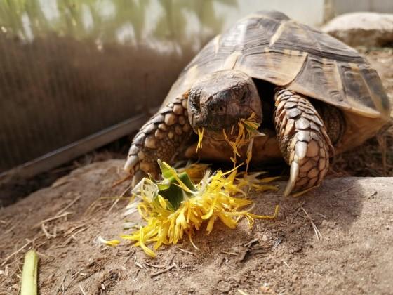 Leo liebt Löwenzahn - oder ein Schildkrötenfressanfall