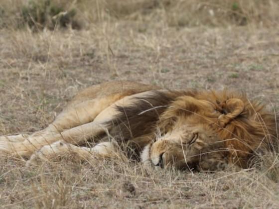 Sleeping Lion - schlafender Löwe