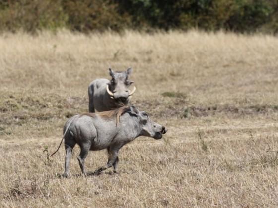 Masai Mara - Warzenschweine