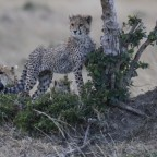 Masai Mara - spielende Geparden