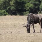 Masai Mara - Gnu