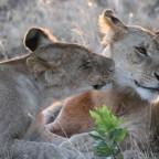 Masai Mara - Löwen