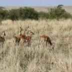 Masai Mara Impalas