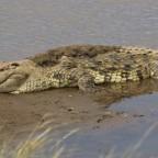 Masai Mara - Krokodile