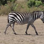 Masai Mara - Zebra