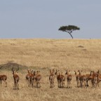 Masai Mara - Impala