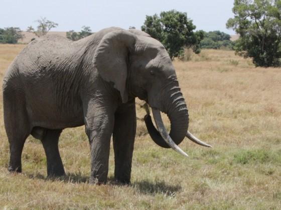 Masai Mara - Alter Elefant