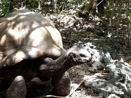 Aldabra - Riesenschildkröte - Mauritius