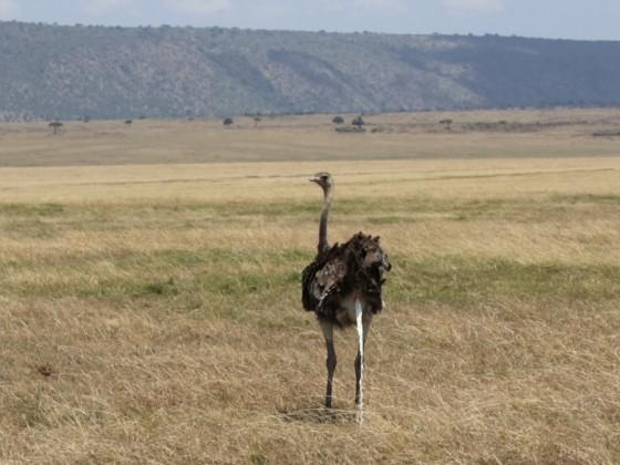 Masai Mara - Strauß