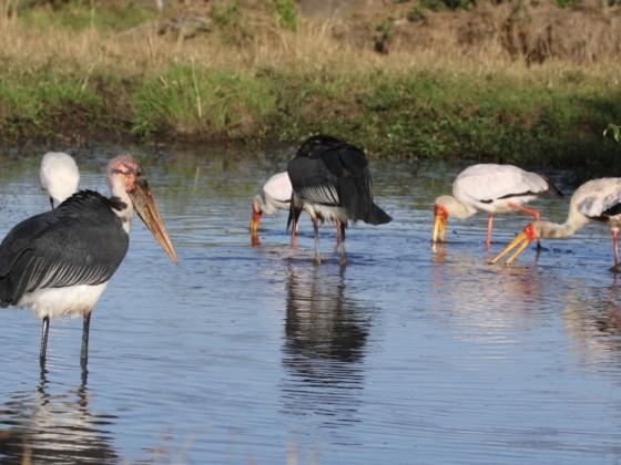 Masai Mara - Vögel am Wasserloch