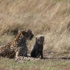 Masai Mara - Gepard mit Nachwuchs