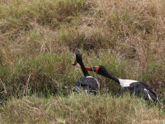 Masai Mara - Sattelstorch