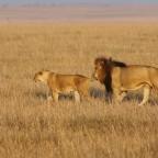 Masai Mara - Löwen II