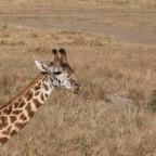 Masai Mara - Giraffe der erste Versuch