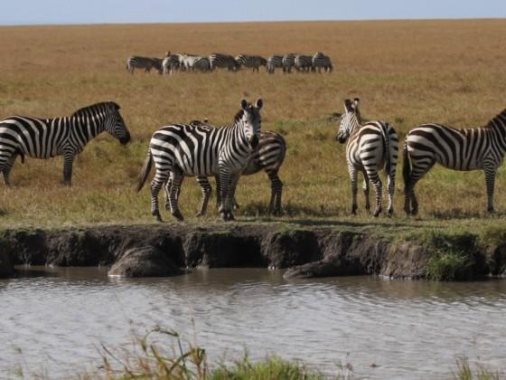 Masai Mara - Zebras am Fluss