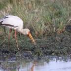 Masai Mara - Nimmersatt Teil 2