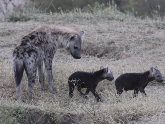 Masai Mara - Hyänen - Teil 1