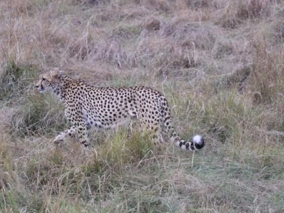 Masai Mara - Gepard
