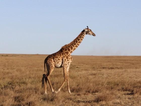 Masai Mara - Giraffen