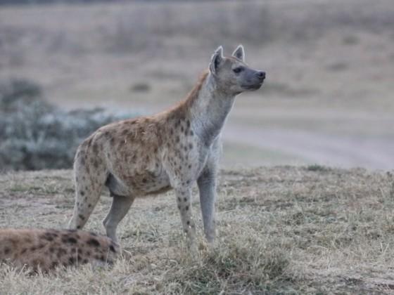 Masai Mara - Hyänen Teil III