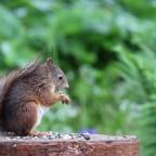 Eichhörnchen im Regen