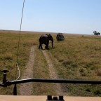 Masai Mara - Elefant kreuzt Weg