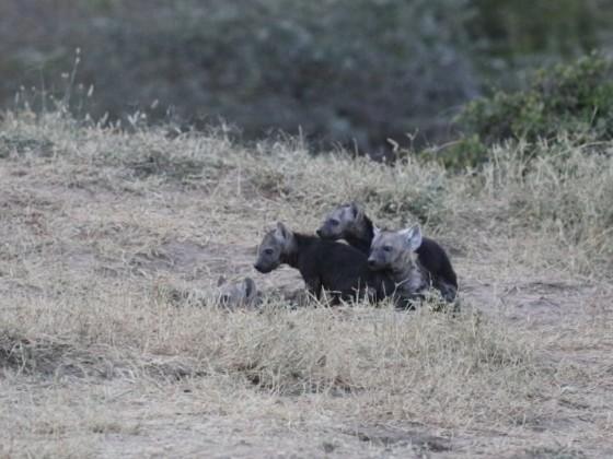 Masai Mara - Hyänen - Teil 2