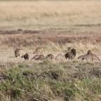 Masai Mara - Mungos