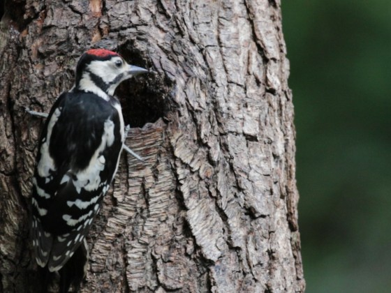 Junger Buntspecht am Baum