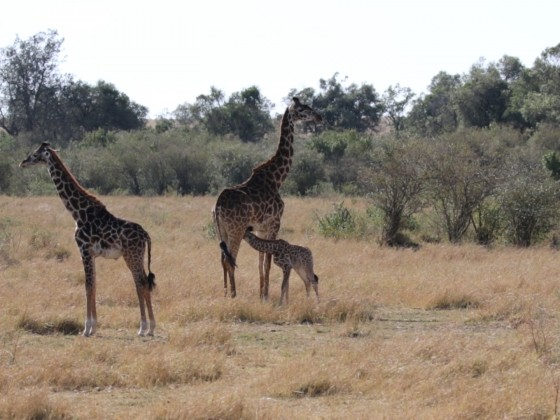 Masai Mara - Giraffenfamilie