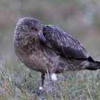 Norwegen 2018 - Große Raubmöwe (Skua) auf Runde