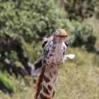 Masai Mara - Giraffe II