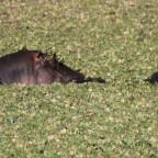 Masai Mara - Nilpferd