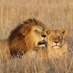 Löwe niest in der Masai Mara