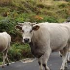 Kühe im Hochland auf Pico