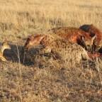 Masai Mara - Hyänen