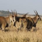 Masai Mara - Elenantilope
