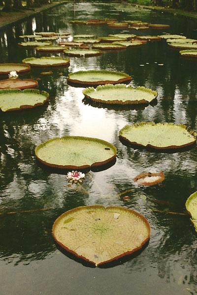 Pampelmousse - Seerose Victoria regia